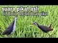 Suara Asli Burung Ruak Ruak Bagus Untuk Pikat Suara Jelas Dan Jernih  Mp3 - Mp4 Download