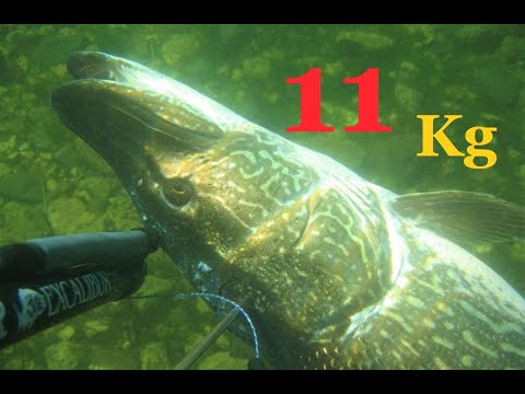 Ricordo Di Un Luccio Di 11 Kg Preso In Apnea Al Lago Di Como! Lake Spearfishing Pike