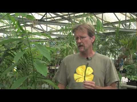 Grafting Avocado Part 1