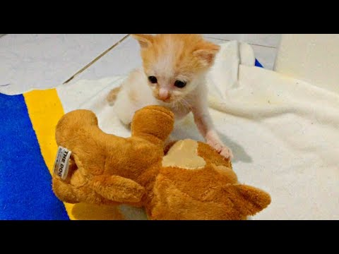 Kitten SEES TOY for THE FIRST TIME!! WILL MELT YOUR HEART! ♡