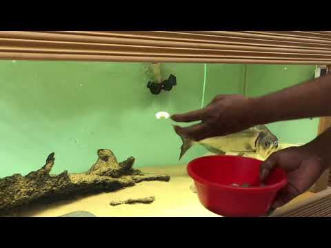 Vampire Fish Feeding