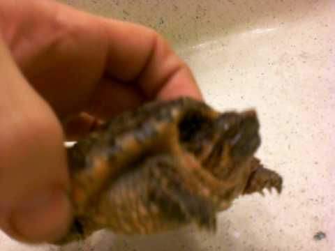Orange Color Phase Common Snapping Turtle
