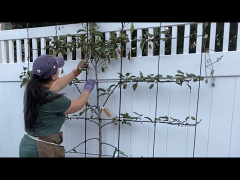 Planting Espalier Apple Trees Part 1 🍎 How's It Growing?