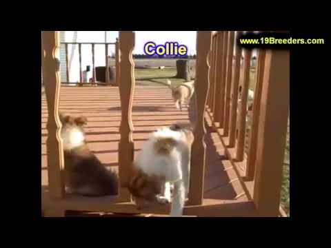 Collie, Puppies, For, Sale, in, Mobile, County, Alabama, AL, Huntsville, Morgan, Calhoun, Etowah, Ho