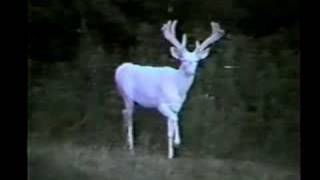 White Monarch Albino White-tailed Deer