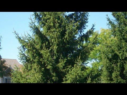 Norway Spruce Growing Guide