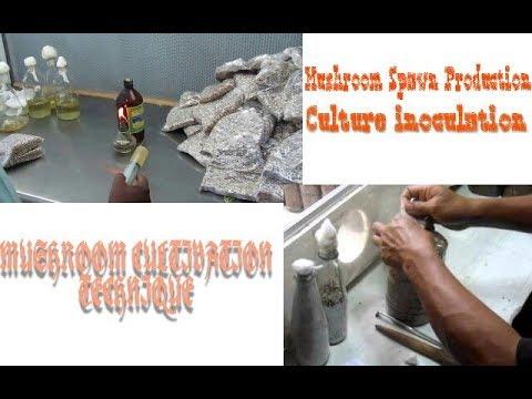 Mushroom Spawn Production | Culture Inoculation | Mushroom Cultivation  Technique