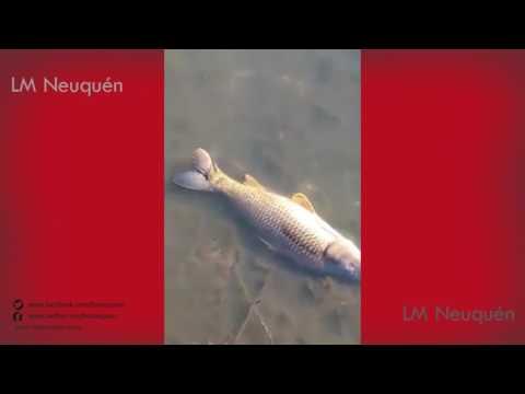 El DPA detectó la causa de la mortandad de peces en un brazo del río en Allen: fueron agroquímicos