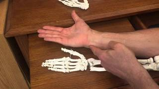 Difference Between Radius and Ulna