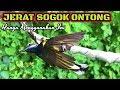 Jerat Pleci Lokal Malah Dapat Burung Sogok Ontong Gacor  Mp3 - Mp4 Download