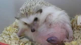 刺蝟生育過程   hedgehog BIRTHING PROCESS , giving birth