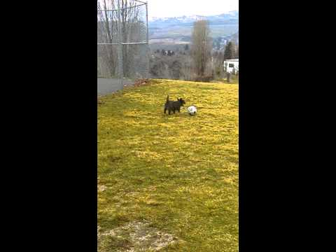 Dog Juggling a Soccer ball!