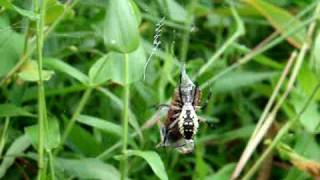 Garden Spider (Argiope Aurantia) vs. Cicada Killer (Sphecius Speciosus) PLEASE READ INFO