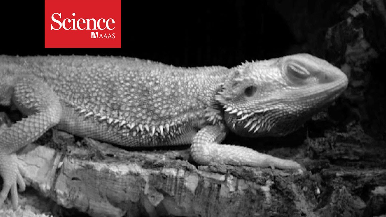 Do sleeping dragons dream? | Science | AAAS