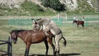 Horse and donkey mating - At ve eşek çiftleşme - High quality