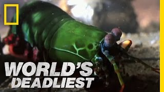 Shrimp Packs a Punch | World's Deadliest