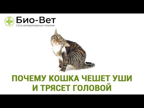 Кошка Чешет Уши и Трясет Головой Причины и Что Делать // Сеть Ветклиник БИО-ВЕТ