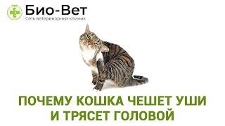 Почему Кошка Чешет Уши & Кошка Чешет Уши И Трясет Головой  Что делать. Ветклиника Био-Вет