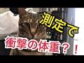 【阿鼻叫喚】ねこねこ春の体重測定会!【まさかの悲劇が・・・?!】