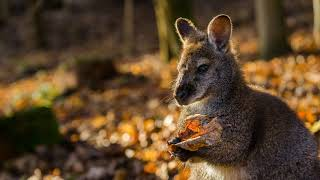 Картинка животное. Осень, природа, кенгуру, лист.