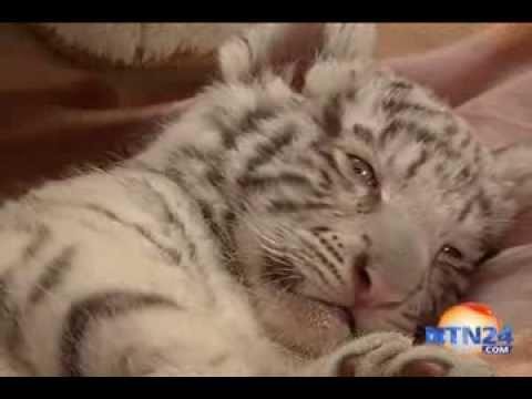 Download Primer tigre blanco nacido en Perú será el consentido de un zoológico en Lima