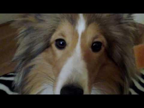 Sheltie Elvis: psie sztuczki -dog tricks 2