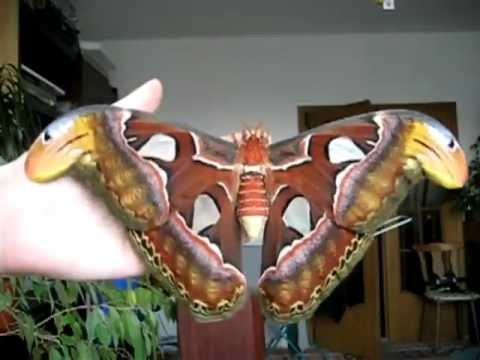 The 2e biggest butterfly in the world attacus atlas papillon g ant attacus atlas youtube - Gros papillon de nuit dangereux ...