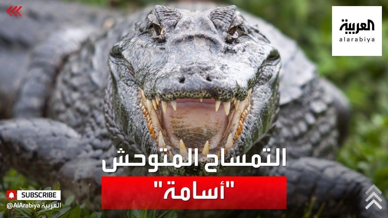 """صورة فيديو : القبض على التمساح المتوحش """"أسامة"""".. في أوغندا"""