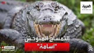 القبض على التمساح المتوحش