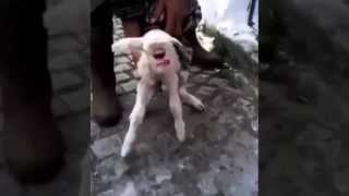 One Eyed Cyclops Goat Interesting