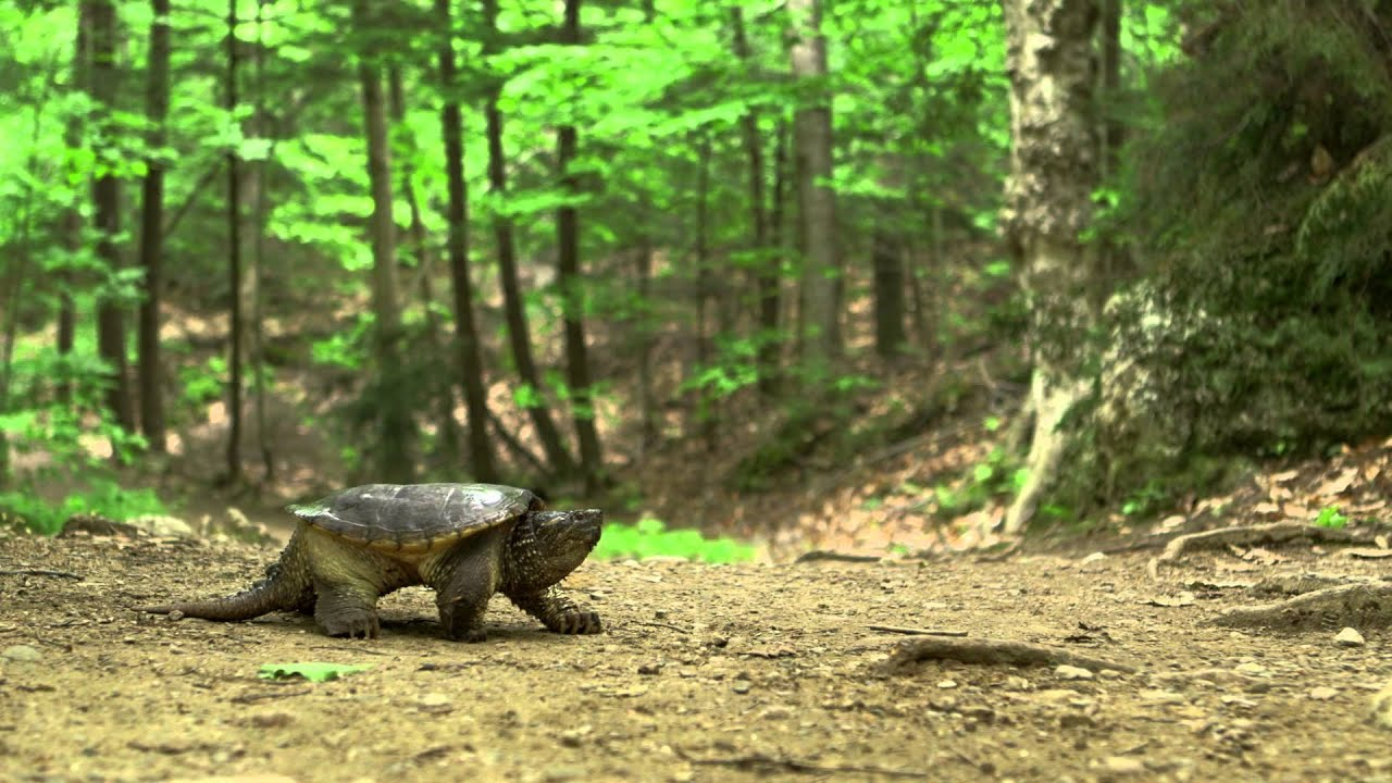 Hinterland Who S Who Freshwater Turtles