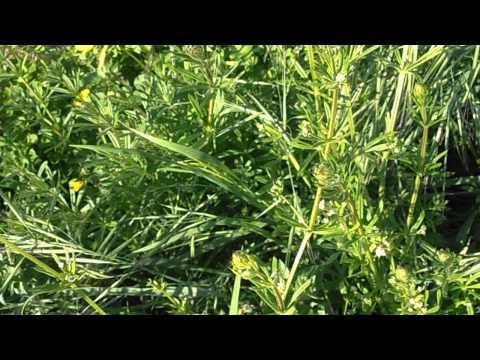 AMOR DE HORTELANO: Galium aparine (www.riomoros.com)