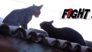 Gatos brigando no telhado do vizinho !
