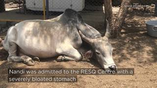 85 Kilos of Plastic Waste Found in a Bull - Watch Nandi's RESQ Story