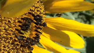 stingless bees at sunflower