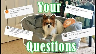 Answering  YOUR Questions! // Percy The Papillon Dog