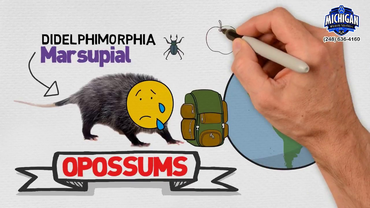 How To Get Rid Of A Possum In Your Garage opossum trapping & removal   michigan wildlife solutions