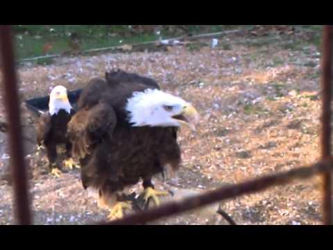 Bald Eagle Song