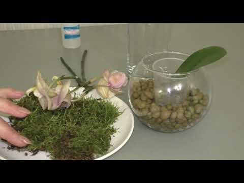 Как вырастить детку орхидеи на срезанном цветоносе фаленопсиса.