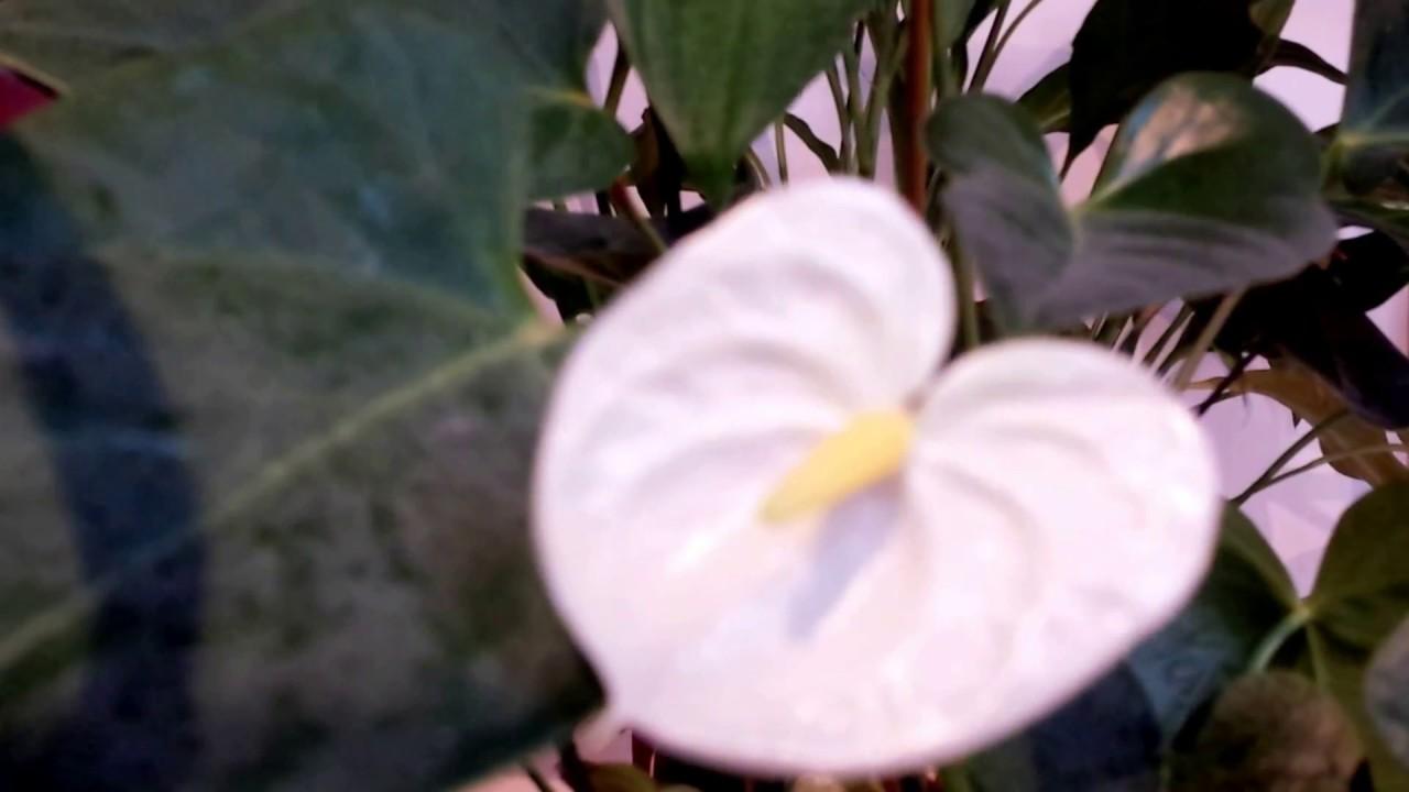 Newly Emerged White Anthurium Flower Youtube