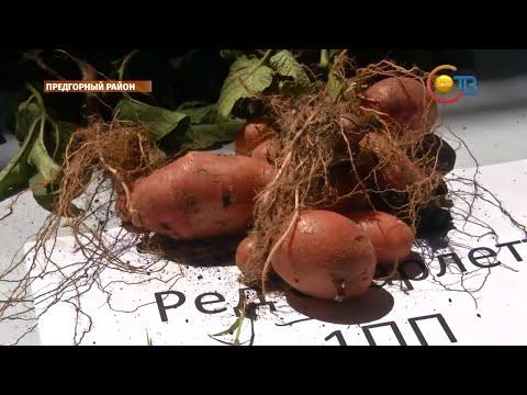 Особенный сорт картофеля