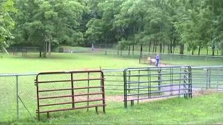 Larry, Cardigan Welsh Corgi Herding Hit