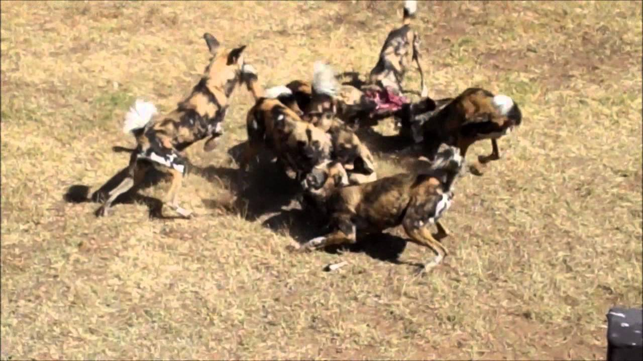 Wild Dog Attacking Australia