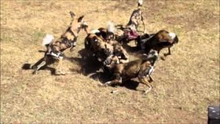 African Wild Dogs Eating - Western Plains Zoo, Dubbo, Australia