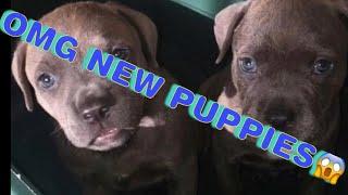 pit bull puppy weight gain method