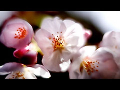 cherry blossoms dating services
