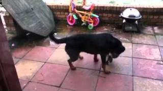 Stella The Skateboarding Rottweiler Dog Uk