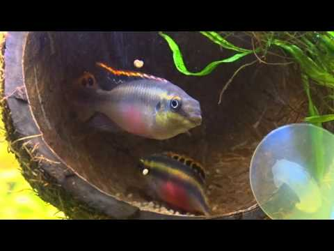 Spawning Pelvicachromis Pulcher/Нерест Пельвикахромис пульхер