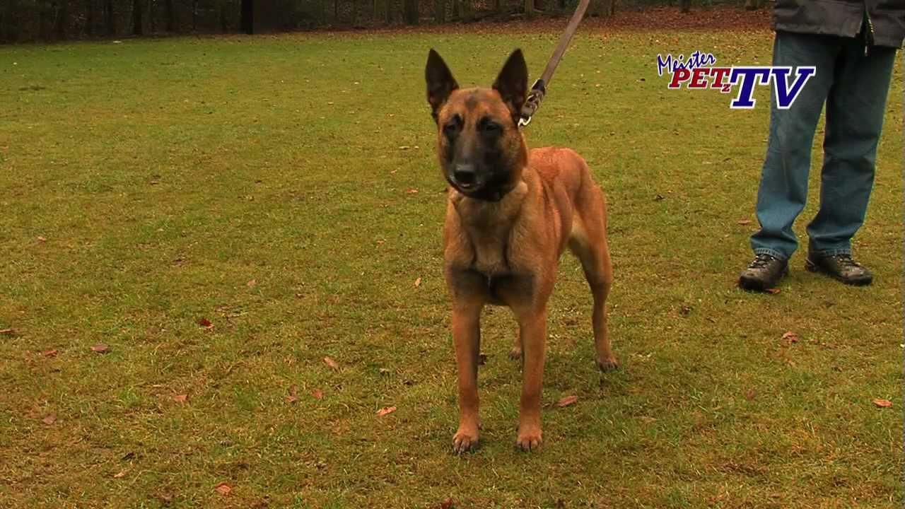 Belgischer Schaferhund Malinois Informationen Zur Rasse Youtube