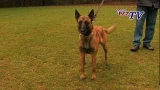 Repeat youtube video Belgischer Schäferhund - Malinois: Informationen zur Rasse